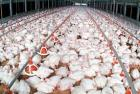 Poultry farm business