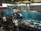 processing of pineapple in 100% organic juice